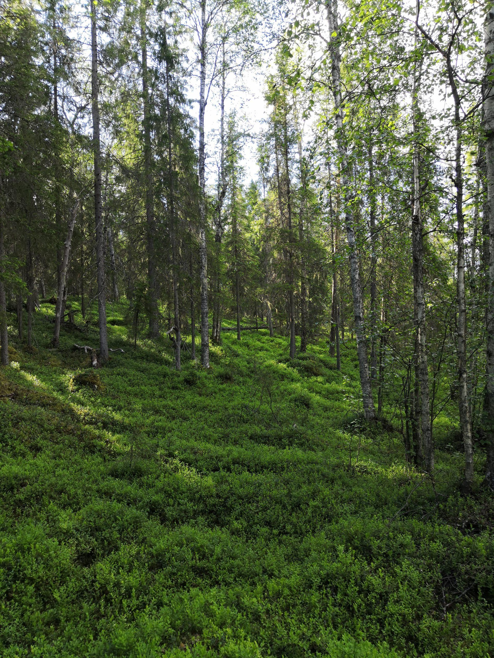 Kuvituskuva. Kesäinen metsä.